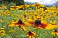 [ルドベキア][キク科][山麓][花畑][黄色い花]ルドベキア