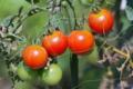[トマト畑][トマト][ミニトマト][プチトマト][夏野菜]トマト畑