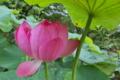 [ハス池][蓮池][レンコン畑][ハス][ピンク色の花]ハス池