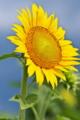 [ヒマワリ畑][ヒマワリ][向日葵][キク科][黄色い花]ヒマワリ畑