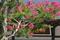 [サルスベリ][ミソハギ科][百日紅][補陀寺][ピンク色の花]サルスベリ