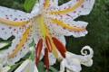 [ヤマユリ][ユリ科][山百合][白百合][白い花]ヤマユリ
