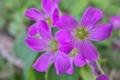 [ムラサキカタバミ][カタバミ科][オキザリス][紫色の花][ピンク色の花]ムラサキカタバミ