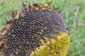 [ヒマワリ畑][向日葵][キク科][ヒマワリ][ひまわり]ヒマワリ畑