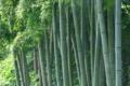 [竹やぶ][竹薮][竹林][モウソウチク][孟宗竹]竹やぶ