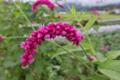 [オオケタデ][タデ科][大毛蓼][大きな花][赤い花]オオケタデ