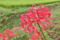 [ヒガンバナ][ヒガンバナ科][彼岸花][田園][赤い花]ヒガンバナ