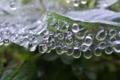 [クモの巣][蜘蛛の巣][水滴][雨粒][雨天]クモの巣