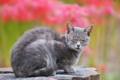 [猫][ネコ][野良猫][ヒガンバナ][彼岸花]猫