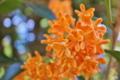 [キンモクセイ][モクセイ科][金木犀][芳香][オレンジ色の花]キンモクセイ