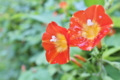 [マルバルコウ][ヒルガオ科][蔓性植物][外来種][赤い花]マルバルコウ