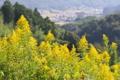 [セイタカアワダチソウ][キク科][山里][帰化植物][黄色い花]セイタカアワダチソウ