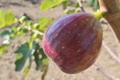 [イチジク畑][イチジク][いちじく][クワ科][赤い実]イチジク畑