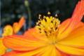 [キバナコスモス][キク科][コスモス][秋桜][オレンジ色の花]キバナコスモス