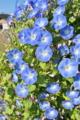 [朝顔][アサガオ][ヘブンリーブルー][青い花]朝顔