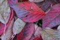 [桜][サクラ][落ち葉][落葉][赤い葉]桜