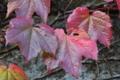 [ツタ][ブドウ科][蔦][蔓植物][赤い葉]ツタ