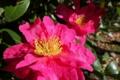 [山茶花][サザンカ][ツバキ科][生垣][ピンク色の花]山茶花