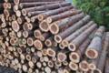 [伐採木][杉][スギ][間伐材][スギ林]伐採木