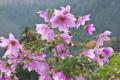 [キダチダリア][キク科][木立ダリア][皇帝ダリア][ピンク色の花]キダチダリア