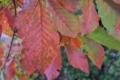 [コナラ][ブナ科][雑木林][紅葉][赤い葉]コナラ