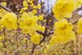 [蝋梅][ロウバイ][ロウバイ科][ろうばいの郷][黄色い花]蝋梅