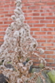 [セイタカアワダチソウ][キク科][帰化植物][冬枯れ]セイタカアワダチソウ