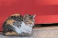[猫][眠り猫][三毛猫][ネコ][妙義神社]猫