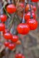 [ヒヨドリジョウゴ][ナス科][蔓性植物][赤い実]ヒヨドリジョウゴ