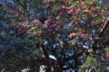 [山茶花][サザンカ][名木][老木][古木]山茶花