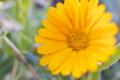 [ヒメキンセンカ][キク科][キンセンカ][金盞花][黄色い花]ヒメキンセンカ
