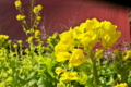 [菜の花][アブラナ科][製材所][トタン屋根][黄色い花]菜の花