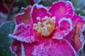 [山茶花][サザンカ][ツバキ][霜][ピンク色の花]山茶花