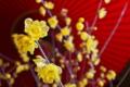 [ロウバイ][ロウバイ科][狼狽][黄色い花][妙義神社]ロウバイ
