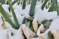 [ネギ畑][ネギ][葱][ねぎ][雪]ネギ畑