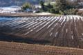 [コンニャク畑][こんにゃく畑][蒟蒻畑][雪][こしね]コンニャク畑
