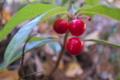 [ヤブコウジ][サクラソウ科][ヤブコウジ科][ジュウリョウ][赤い実]ヤブコウジ