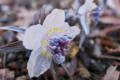 [セツブンソウ][キンポウゲ科][節分草][多年草][白い花]セツブンソウ