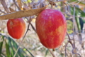 [カラスウリ][ウリ科][烏瓜][蔓植物][赤い実]カラスウリ