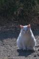 [猫][ネコ][白猫][白ネコ][ねこ]猫