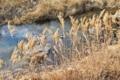 [増田川][碓氷川水系][一級河川][小川][アシ原]増田川