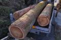 [伐採木][老杉][杉][スギ][伐採]伐採木