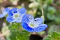 [オオイヌノフグリ][オオバコ科][ゴマノハグサ科][畦道][青い花]オオイヌノフグリ