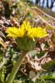 [カントウタンポポ][キク科][タンポポ][土手][黄色い花]カントウタンポポ