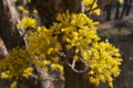 [サンシュユ][ミズキ科][ハルコガネバナ][庭木][黄色い花]サンシュユ