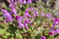 [ホトケノザ][シソ科][畦道][ピンク色の花][紫色の花]ホトケノザ