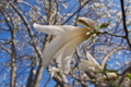 [コブシ][モクレン科][辛夷][こぶし][白い花]コブシ