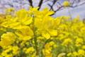 [菜の花畑][菜の花][アブラナ科][花畑][黄色い花]菜の花畑