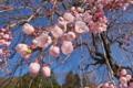 [桜][しだれ桜][シダレザクラ][枝垂桜][サクラ]桜