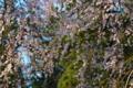 [桜][しだれ桜][シダレザクラ][枝垂桜][妙義神社]桜